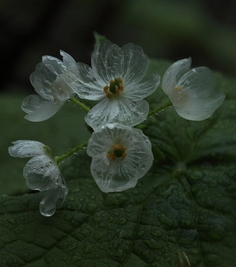 These Magical Flowers Seem To Vanish in Rain
