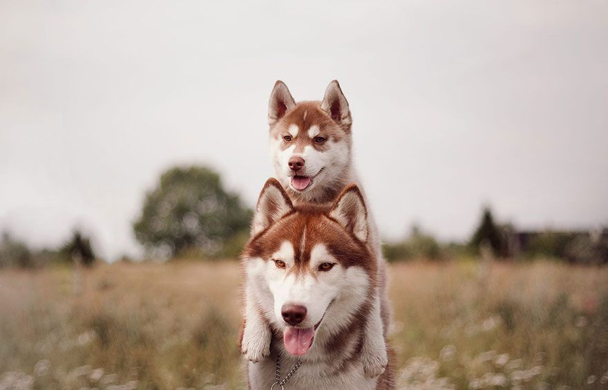 This Russian's Instagram is Pure Husky