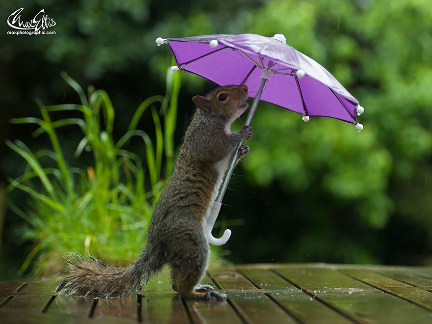 Squirrel Gets A Tiny Umbrella For Rain Protection