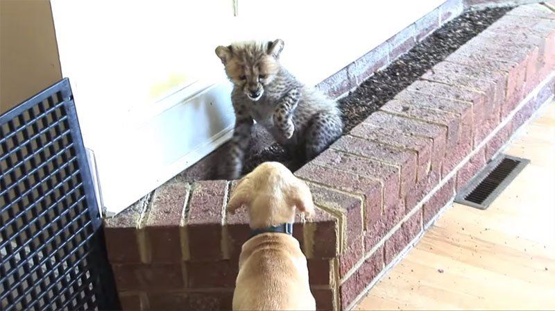 How a Cheetah Cub and Puppy Became Best of Friends