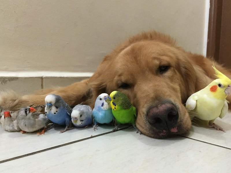 Golden Retriever with the Flyest Friends