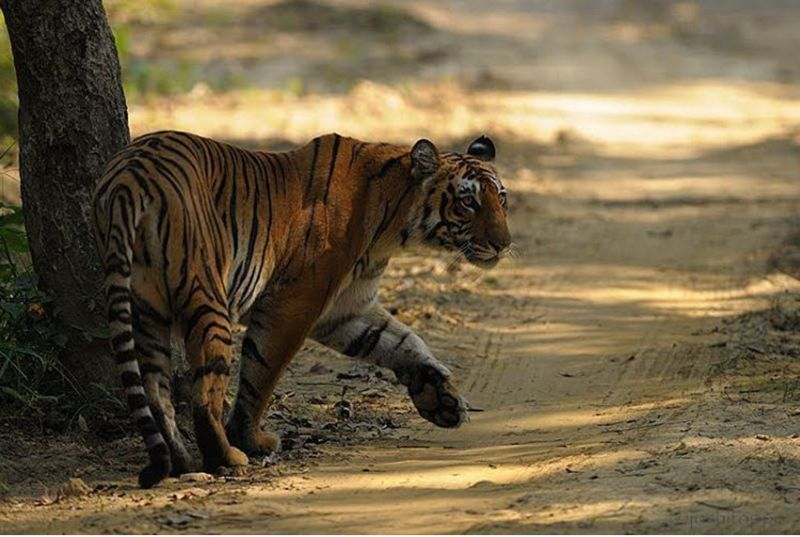 5 Places In India Where You Can Spot Tigers