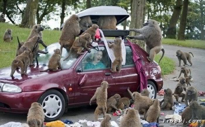 Group of Monkeys attack on a Car