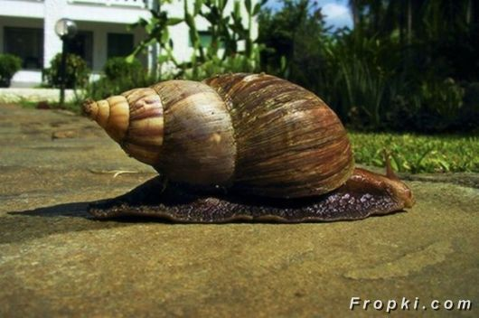 Amazing African Giant Snails