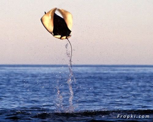 Flying Stingray Fish