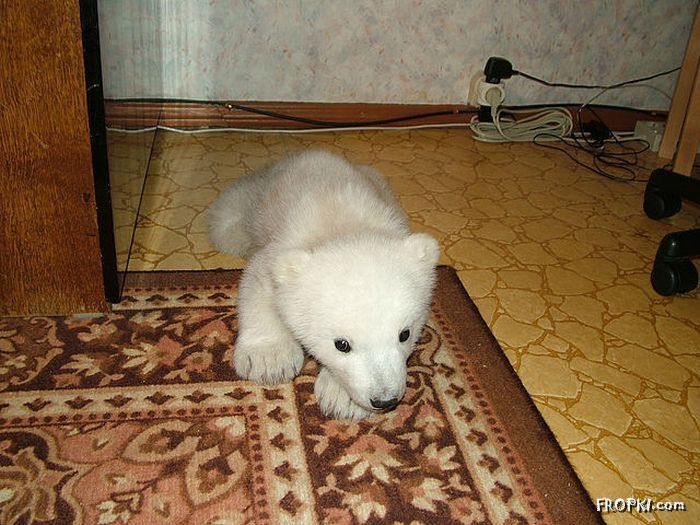 Polar Bear Cub lives in an Apartment