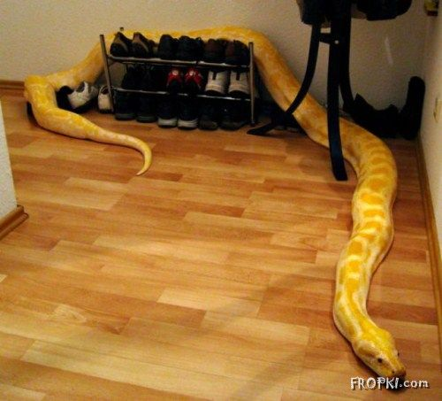 Would you like this Snake as a Pet?