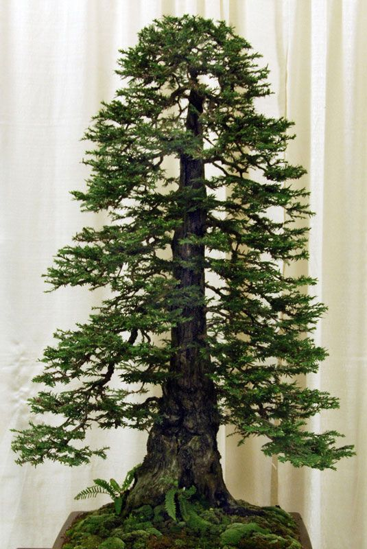 Bonsai Versions of the World's Tallest Tree