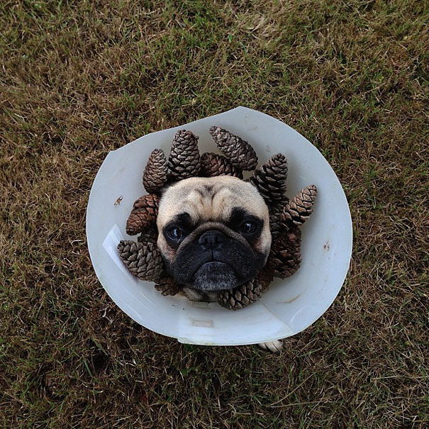 Meet Norm, Pug With the Best Selfies on the Internet