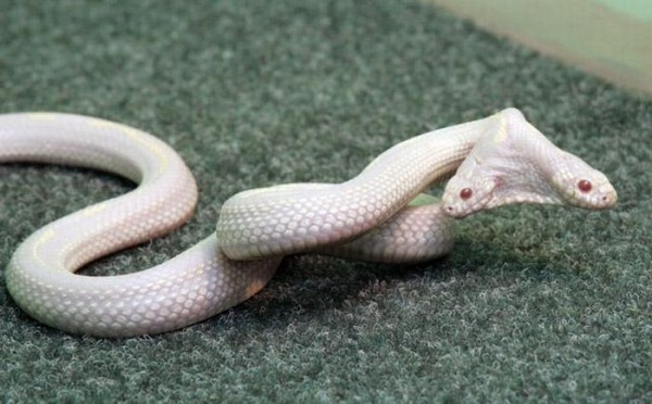 Albino Snake with Two Heads