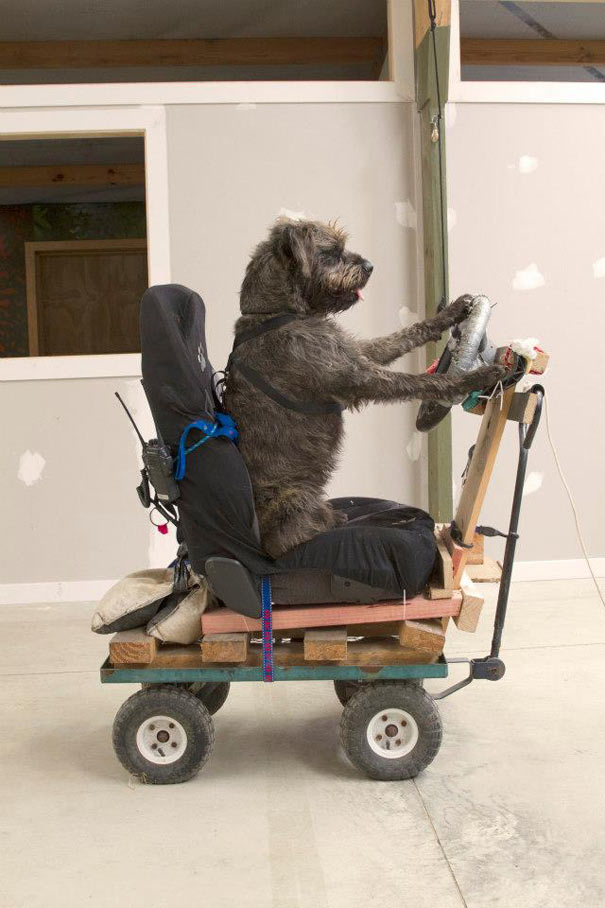 Super Funny Driving Dogs