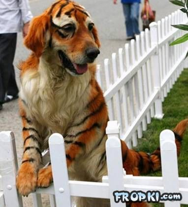 Latest Chinese Craze for Dogs - Designer Dogs