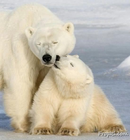 Love at the Poles by Polar Bears