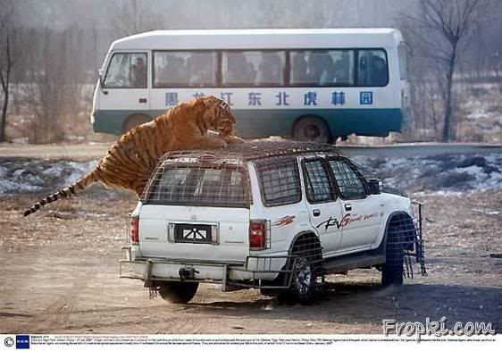 Attacked by tigers on a Tour